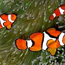 Nemo trio by Reef Ecoimages