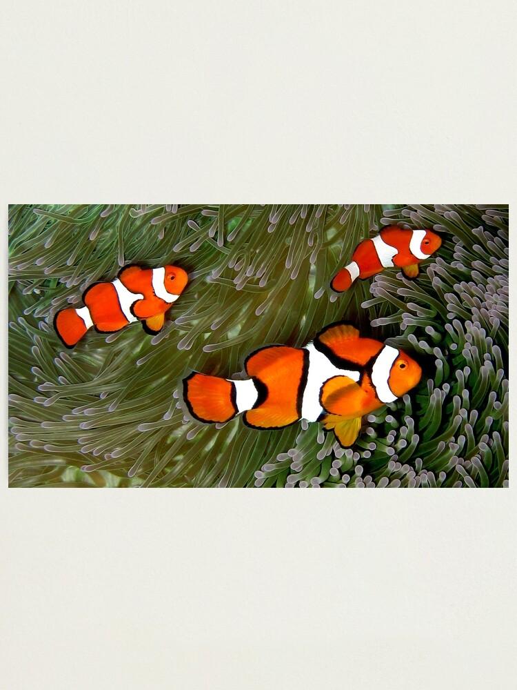 Alternate view of Nemo trio Photographic Print