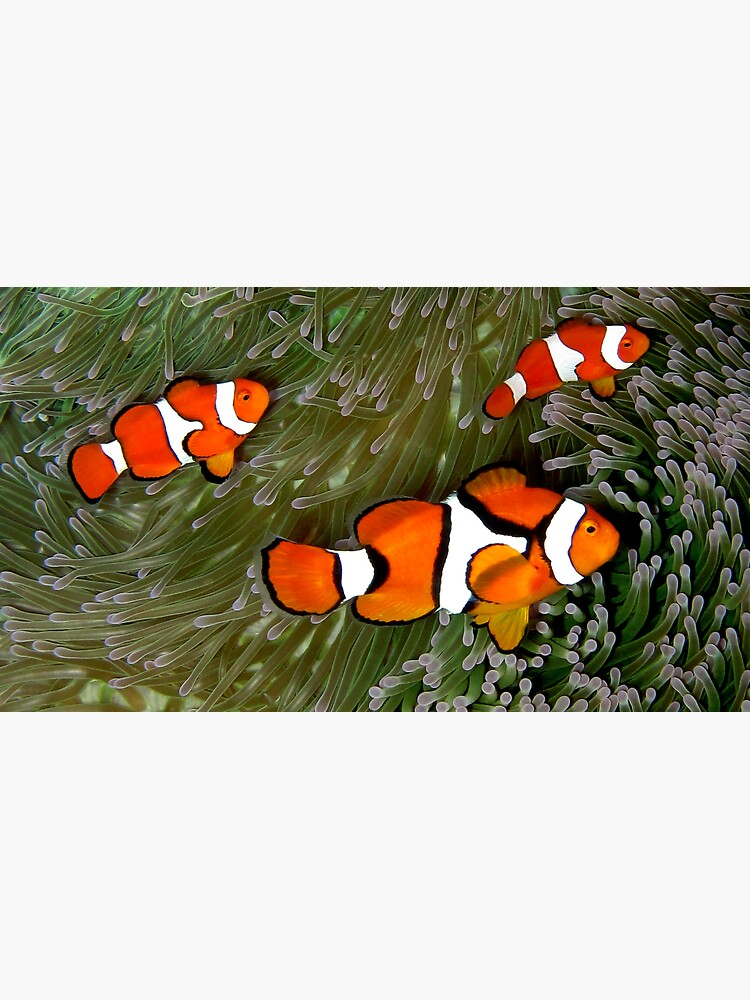 Nemo trio by neoniphon