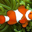 Big Nemo by Reef Ecoimages