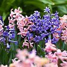 Hyacinth Garden by gardenpictures