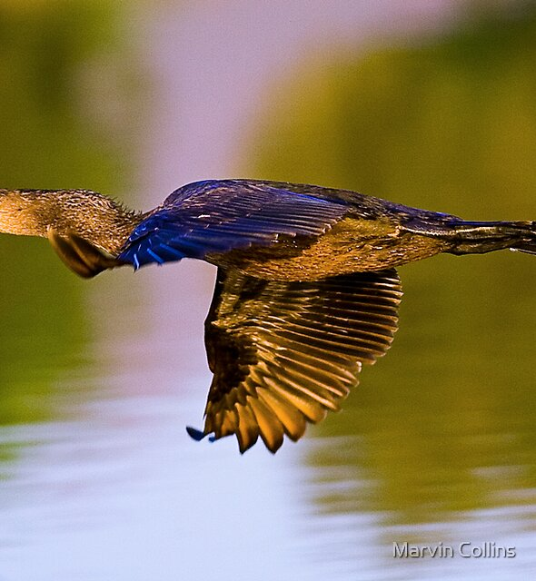 Cormorant by Marvin Collins
