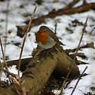 robin in winter by sarah hardy
