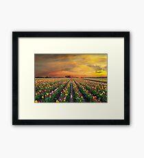 Sunset over colorful Tulip flower fields in full bloom spring season in Woodburn Oregon Framed Print