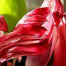 Death of a Tulip by George Parapadakis (monocotylidono)