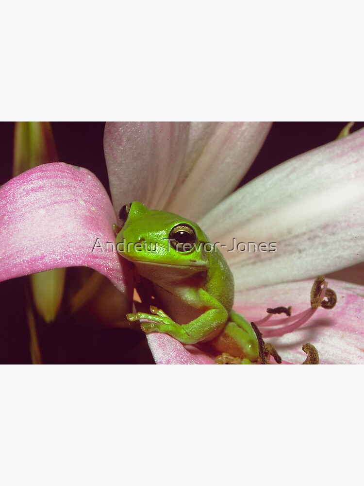 Green Tree Frog by andrewtj
