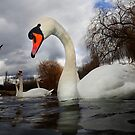 Swans a Swimming  by Patricia Jacobs DPAGB BPE4