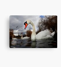 Swans a Swimming  Canvas Print