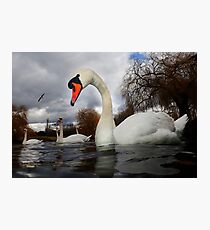 Swans a Swimming  Photographic Print