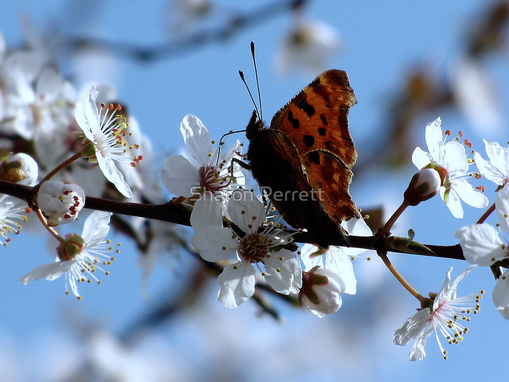 Enjoying the blossom too by Sharon Perrett