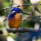 Azure Kingfisher by Chris  Randall