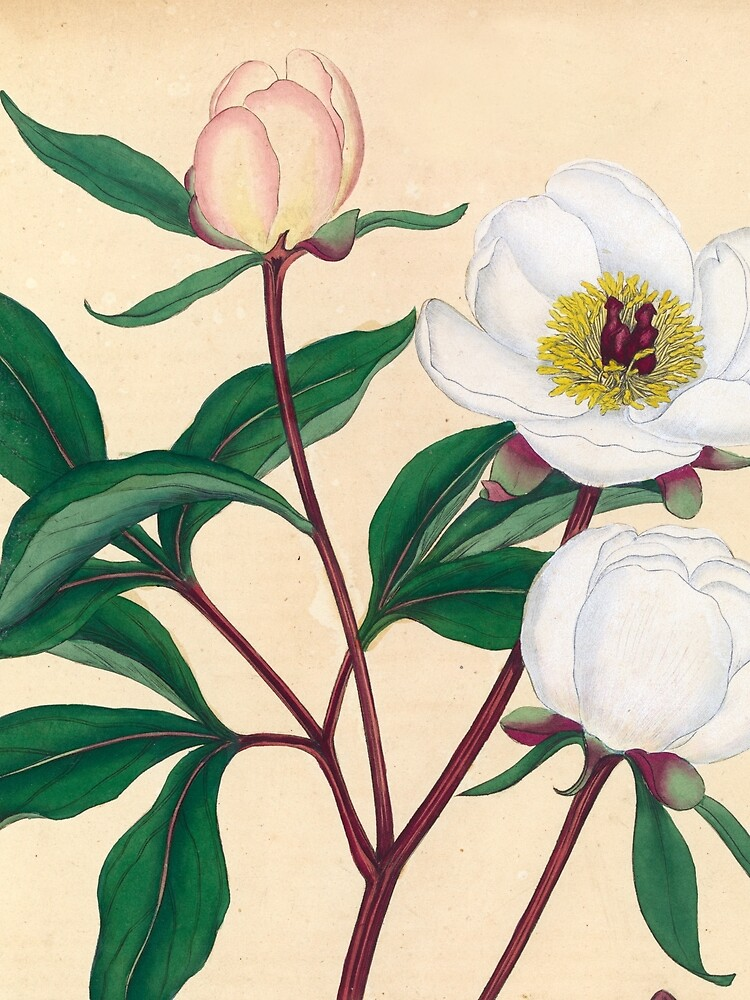 Botanical illustration: Peonies by Henry Charles Andrews – State Library Victoria by StateLibraryVic