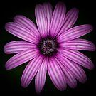 Purple  by Charlotte  Pridding