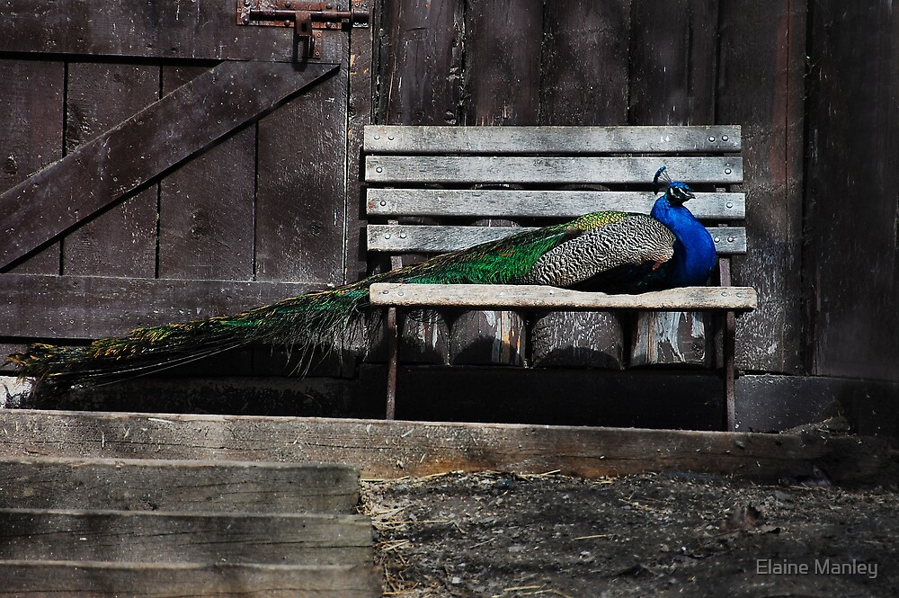 A Spoiled Peacock  by Elaine  Manley