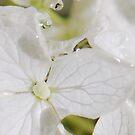 Hydrangea Drops by Nancy Barrett