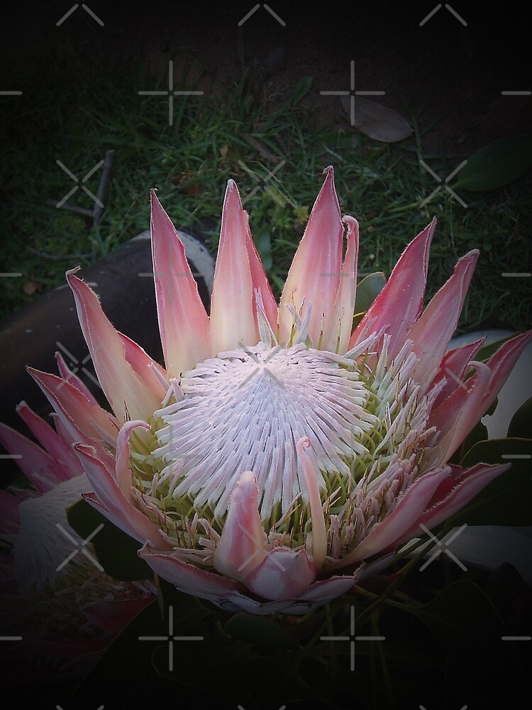 King Protea by Elaine Teague