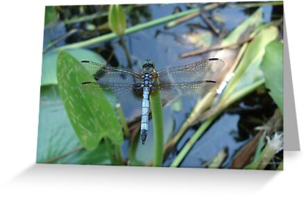 Blue Dasher on Pickerel Weed by May Lattanzio