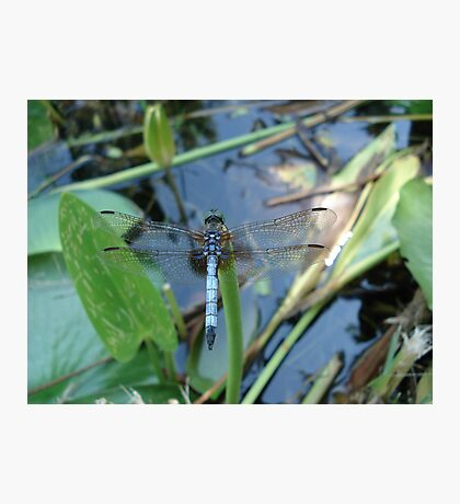 Blue Dasher on Pickerel Weed Photographic Print
