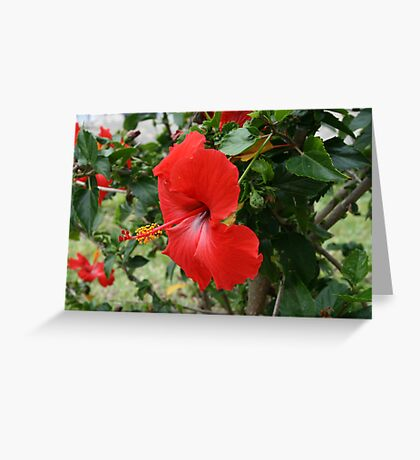 Beautiful Red Hibiscus Greeting Card