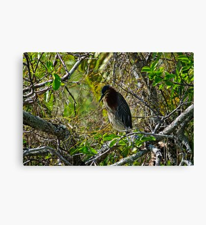 Little Green Heron - In the Everglades Canvas Print