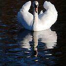 Swan at Ruswarp by dougie1