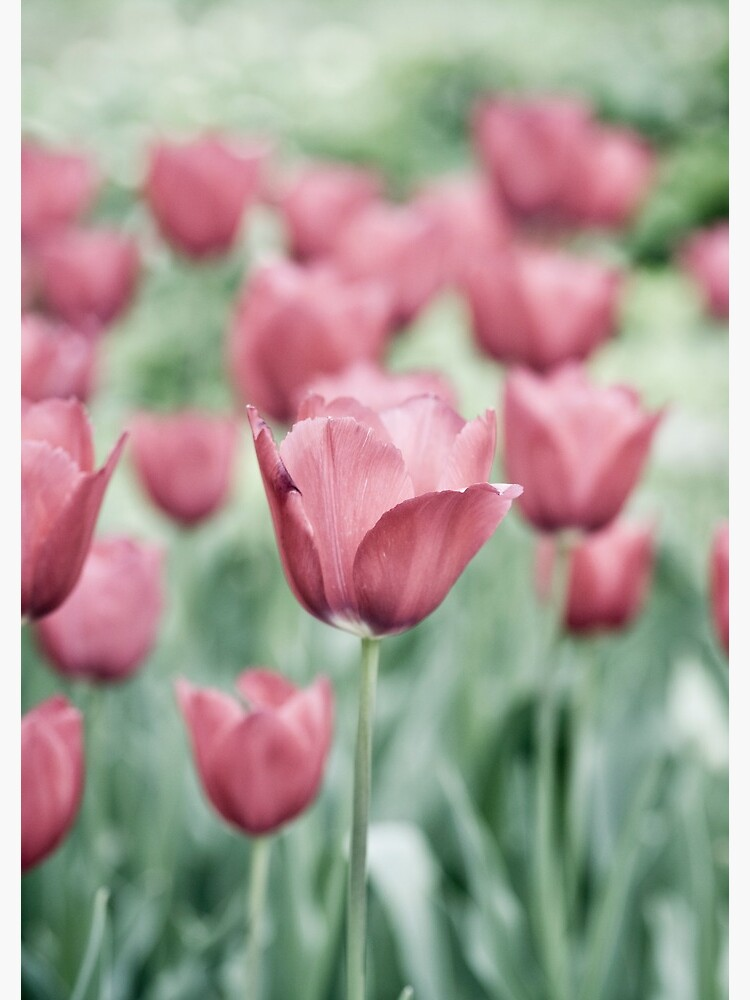 Pink Tulip Field by gardenpictures