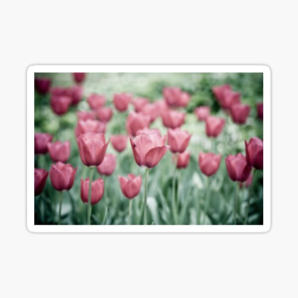 Pink Tulip Field Sticker