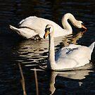swan again, ruswarp by dougie1