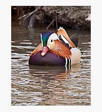 Mandarin Duck  2 Photographic Print