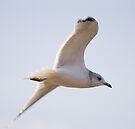 Black Headed Gull by Nigel Bangert