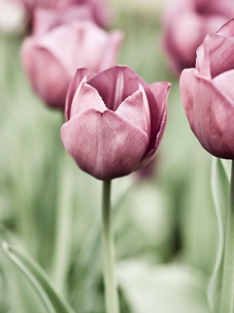 Tulip Garden by gardenpictures