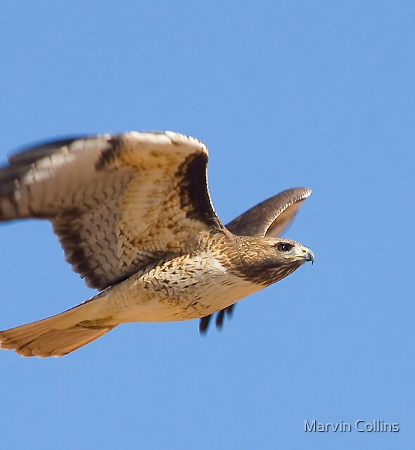 1109 Red Tailed Hawk by Marvin Collins