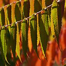 Back-lit Sumac in Autumn by Anna Lisa Yoder