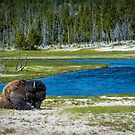 Bison resting along the Madison River by EthanQuin