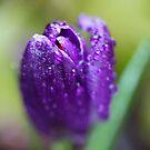 Spring flowers. 27th march 2018. © Dr.Andrzej Goszcz. by © Andrzej Goszcz,M.D. Ph.D