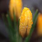 Spring flowers. 27th march 2018. No.2. © Dr.Andrzej Goszcz.   by © Andrzej Goszcz,M.D. Ph.D