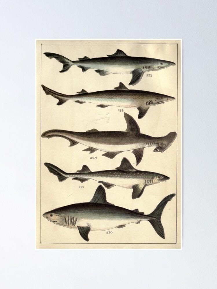 Vintage Illustration Of Various Sharks Poster By Bravuramedia Redbubble