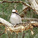 Kookaburra in a old paperbark tree by SUBI