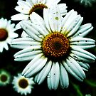 Grungy Daisy (HDR) by Julie Conway