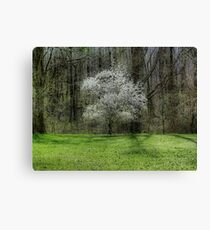 Star Magnolia Tree Canvas Print