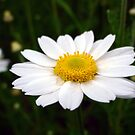 Another Single Daisy by Julie Conway