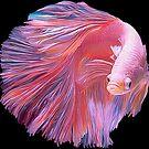 Pink Betta Fighting Fish by Walter Colvin