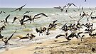 A Madness of Pelicans by Yukondick