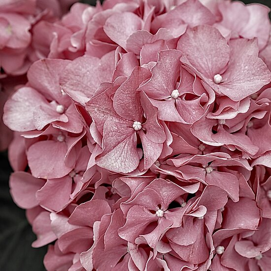 Pink hydrangea soft pink flowers muted pink flower image pink hydrangea soft pink flowers muted pink flower image by rocketman2017 mightylinksfo