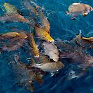 Tropical fish feeding near the surface,  Michaelmas Cay, The Great Barrier Reef by John Gaffen