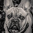 French Bulldog portraiture by Frost Design