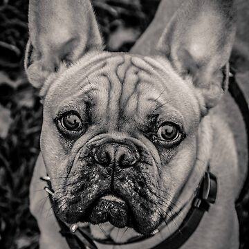 French Bulldog portraiture by LFimM3
