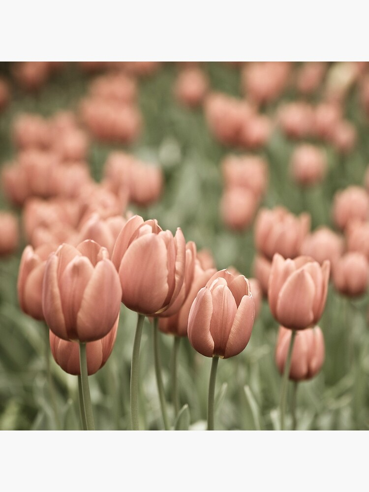 Tulip Field by gardenpictures