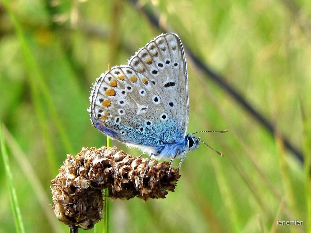 The Silver-studded Blue by ienemien