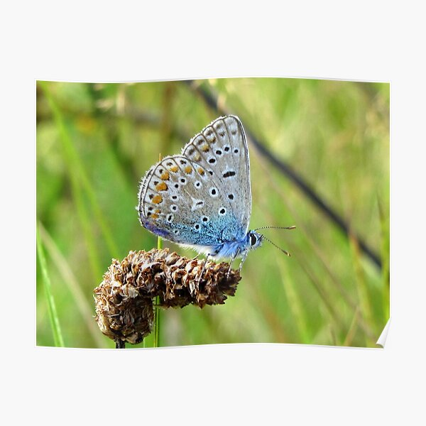 The Silver-studded Blue Poster